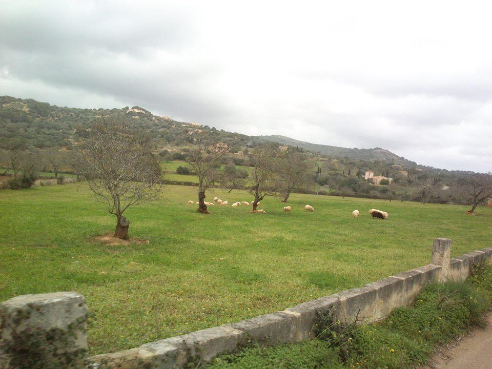...kam se ti dvounožci ženou, říkají si ovce...